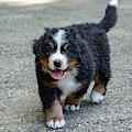 Bernese Mountain Dog Puppy 2 by Pelo Blanco Photo