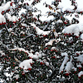 Berries And Snow by Patrick J Murphy