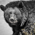 Big Bear In Black And White by Janice Pariza