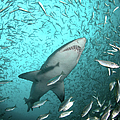 Big Raggie Swims Through Baitfish Shoal by Jean Tresfon