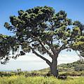 Big Tree by Alison Frank