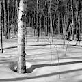 Birch Shadow. by Jeff Sinon
