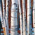 Birch Trees In Early Winter In Painting by Christopher Shellhammer