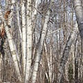 Birch Trees In The Forest by Christopher Shellhammer