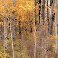 Birches In Autumn by Rod Best