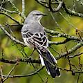 Mockingbird In Tree by Michael D Miller