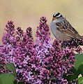 Bird On Lilac Flowers by Carol Groenen