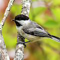 Chickadee On Tree by Michael D Miller