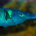 Bird Wrasse by Anthony Jones