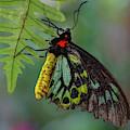 Birdwing Butterfly by Juergen Roth