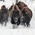Bison Bulls Run In The Snow by Tony Hake
