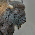 Bison  by Gary Langley