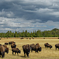Bison In Yellowstone by Christian Heeb