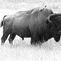Bison - Monochrome by Christiane Schulze Art And Photography