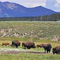 Bison Of Yellowstone by Chance Kafka