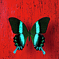 Black And Blue Butterfly On Red Wall by Garry Gay