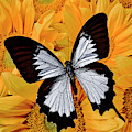 Black And White Butterfly On Sunflowers by Garry Gay