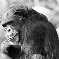 Black And White Chimp by Josh Silver