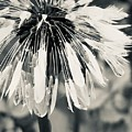 Black And White Dandelion Photograph 2 by Itsonlythemoon