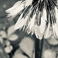 Black And White Dandelion Photograph 3 by Itsonlythemoon