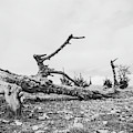 Black And White Picture Of  Large Dry Tree Trunk On The Ground by PorqueNo Studios