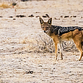 Black Backed Jackal, Namibia by Lyl Dil Creations