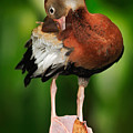 Black-bellied Whistling-duck by Ondrej Prosicky