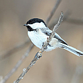 Black-capped Chickadee In Spring by Marlin and Laura Hum
