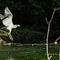 Black-crowned Night Heron In Flight by Edward Peterson