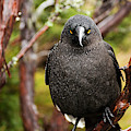 Black Currawong by Rob D Imagery