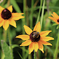 Black Eyed  Susan And Bee by Paula Guttilla