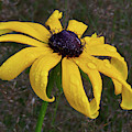 Black Eyed Susan by Dale Kincaid