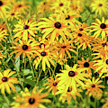 Black Eyed Susans by Delphimages Photo Creations
