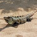 Black Iguana by Sun Travels