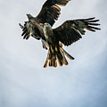 Black Kites On The Wing by Framing Places