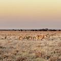 Black-maned Lions Of The Kalahari by Kay Brewer