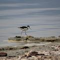 Black Neck Stilt At North Shore Salton Sea 2 by Colleen Cornelius