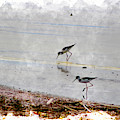 Black Neck Stilts At Salton Sea In Digital Watercolor by Colleen Cornelius
