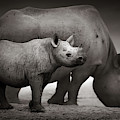 Black Rhinoceros Baby And Cow by Johan Swanepoel