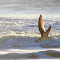 Black Skimmer In Flight by Robert Banach