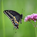 Black Swallowtail Balance by Karen Adams