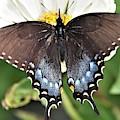 Black Swallowtail Beauty by Kim Bemis