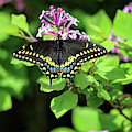 Black Swallowtail Butterfly 2019 by Karen Adams