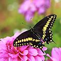 Black Swallowtail by Maria Jeffs