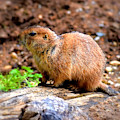 Black Tailed Prairie Dog by Patti Whitten