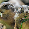 Black-tailed Prairie Dogs by Arterra Picture Library
