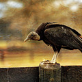 Black Vulture by Rod Best
