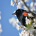 Blackbird In Spring by Randy Hall