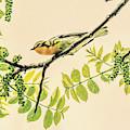 Blackburnian Warbler by Dan Sproul