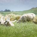 Blissfully Happy New Zealand Sheep by Joan Carroll
